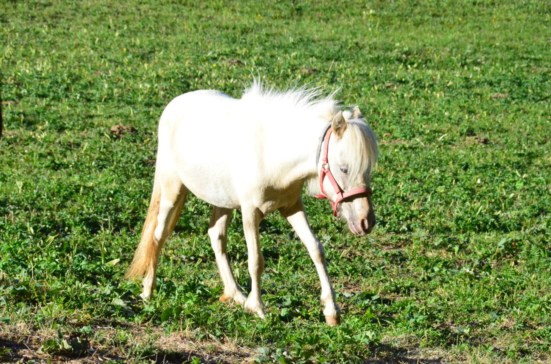 mini koník Soraya v minifarme Donovalkovo